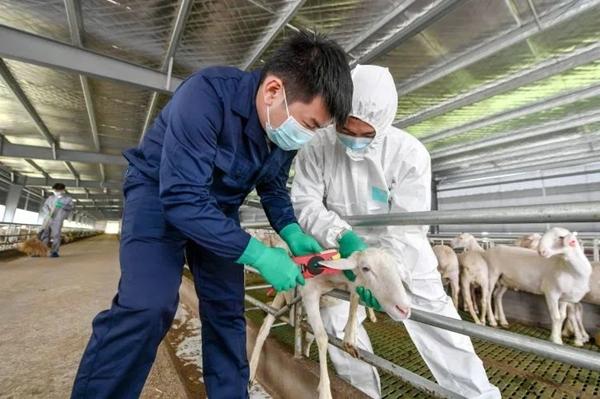 Digitalization fuels sheep breeding