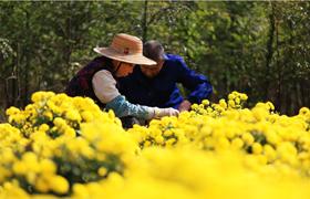 College graduate speaks for chrysanthemums