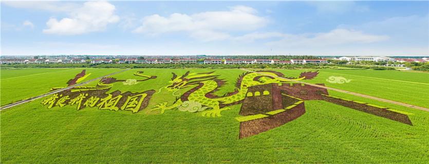 Picturesque rice fields seen in Zhangjiagang