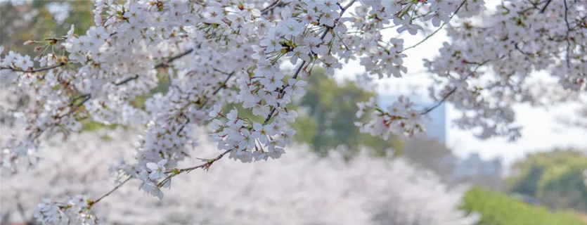 In pics: Cherry blossoms burst forth in Zhangjiagang
