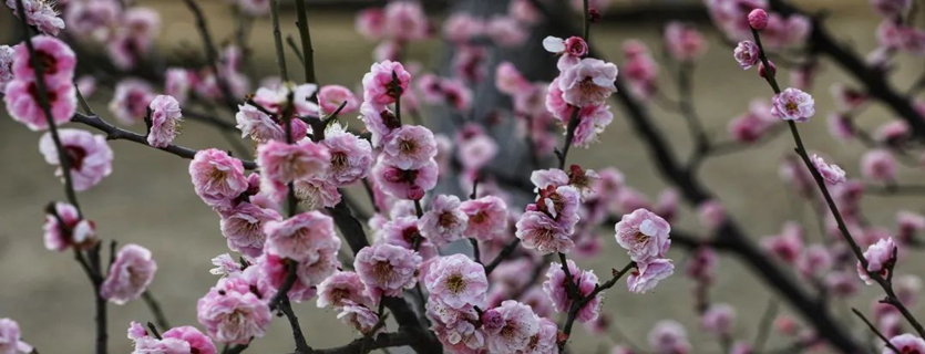 Plum trees bloom inZhangjiagang