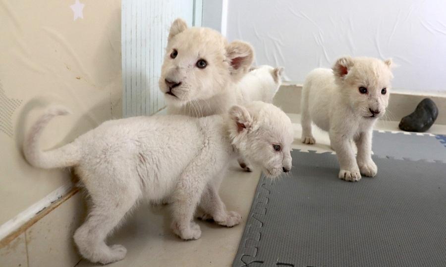 江苏南通森林野生动物园再现罕见四胞胎小白狮1.jpg