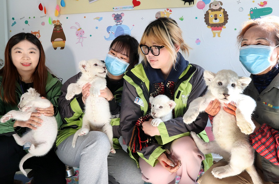 江苏南通森林野生动物园再现罕见四胞胎小白狮4.jpg