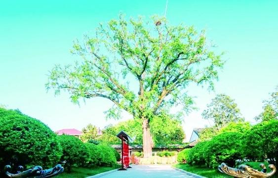 260-year-old gingko tree preserved in Haimen