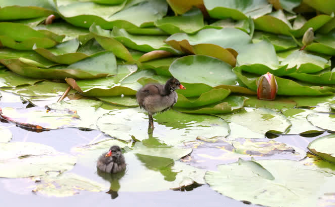 Memorial Park of Cao Ding shelters several moorhens