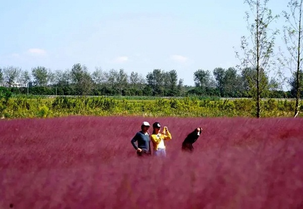 Pink landscape in Haimen attracts tourists