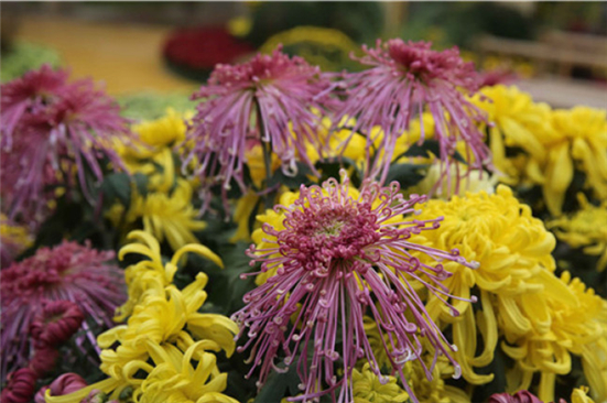 Chrysanthemum exhibition to open in Chongchuan on Oct 29