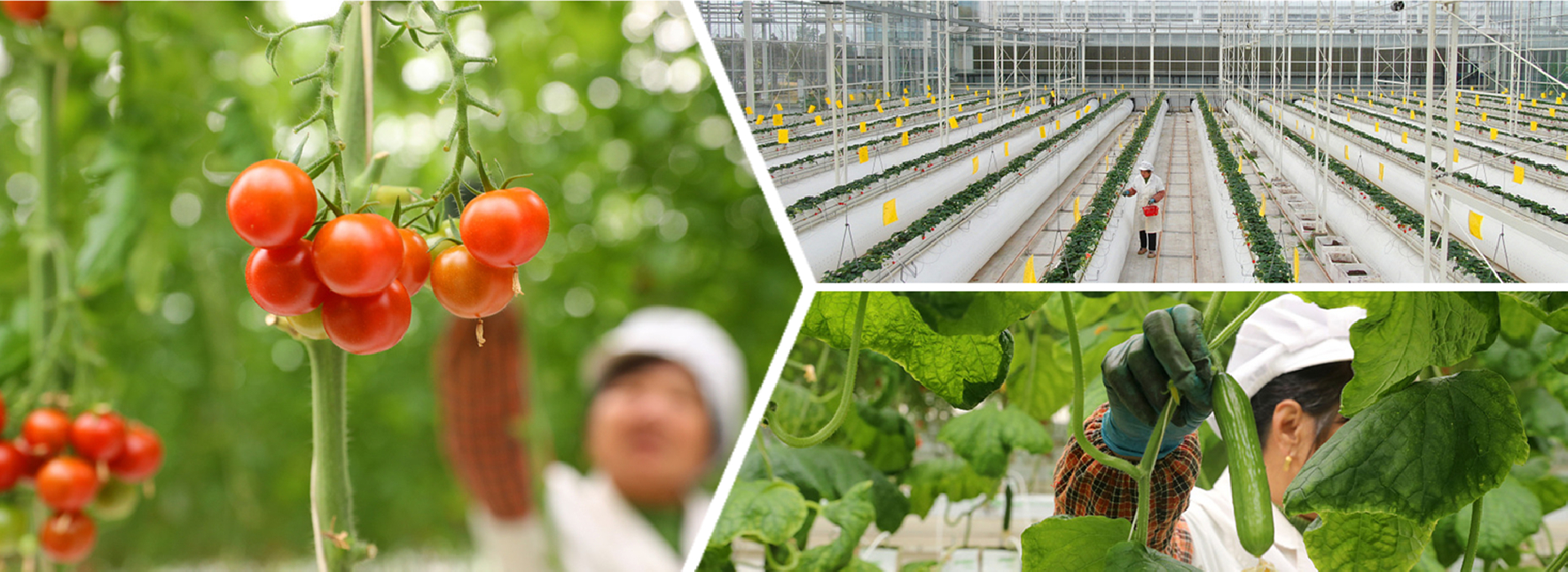 Internet-powered technology applied in vegetable cultivation in Chongchuan