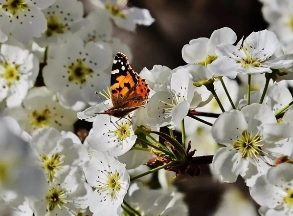Blooming pear blossoms lure tourists to Rugao