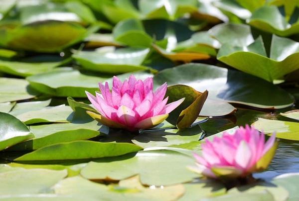 Water lilies bloom at Zhouji Menghuan Island