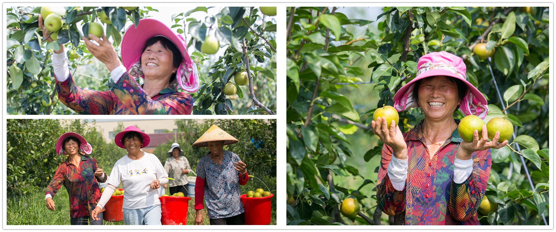 Crunchy pears ready to hit market in Nantong