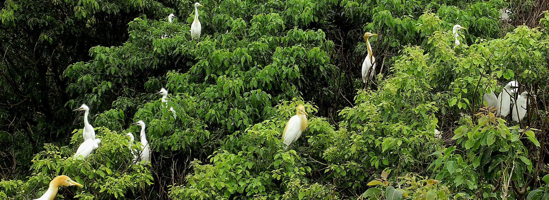 Camphor tree forest in Hai'an home to numerous migratory birds