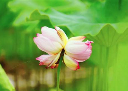 Twin lotus flowers bring luck to Rugao village