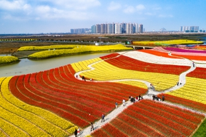 Tulips bloom at Yuantuojiao