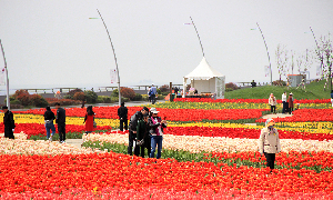 Tulip flora expo to debut at Yuantuojiao