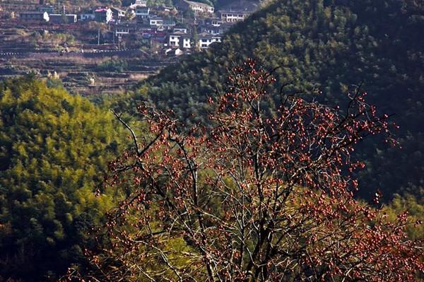 柿子树.webp.jpg
