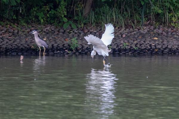 egrets2.jpg