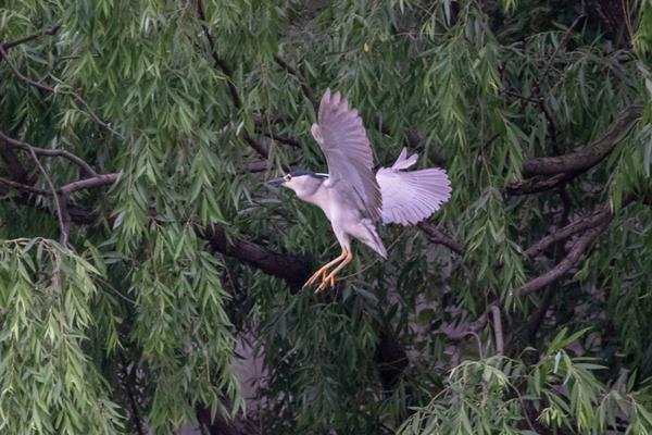 egrets3.jpg