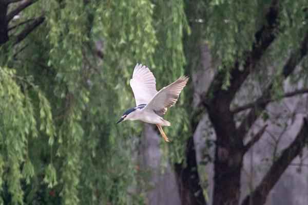 egrets4.jpg