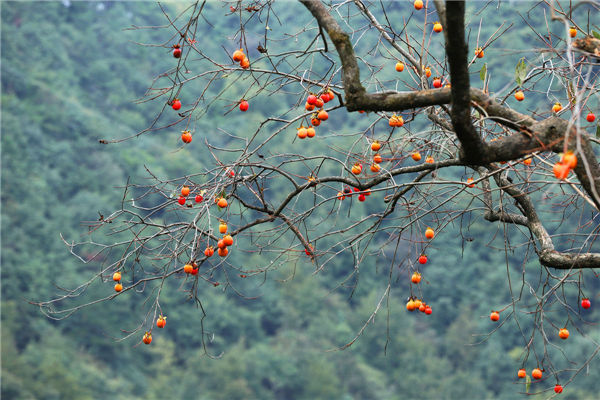 Siming Mountain welcomes persimmon harvest