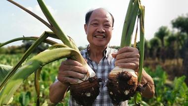 It's harvest time for taros in Ningbo