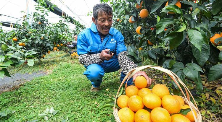 'Red Beauty' harvest season begins in Xiangshan