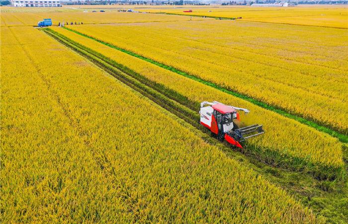 Rice harvest season arrives in Haishu
