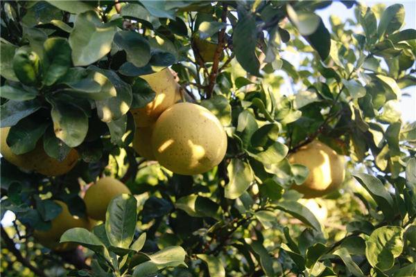 Pomelo harvest season arrives in Yuyao