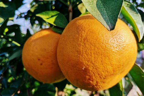 Grapefruit harvest season begins in Ningbo