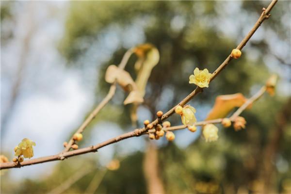 Wintersweets bloom in Baoguo Temple