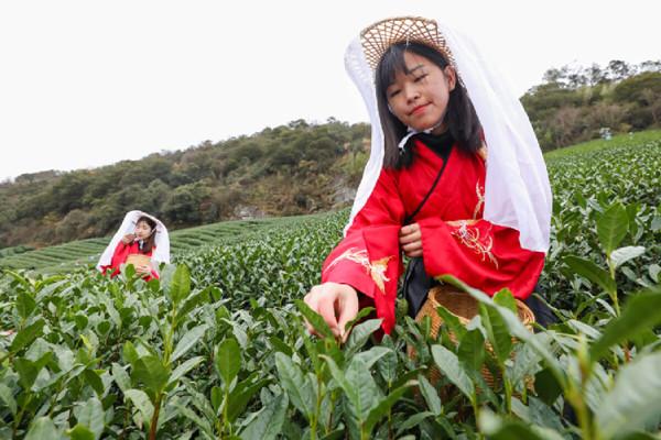 Spring tea enters harvest season in Haishu