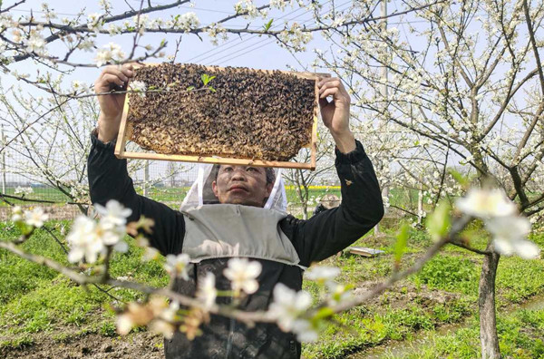 In pics: Apiarists busy collecting pollen in Ningbo