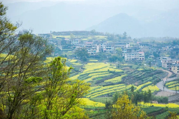 Tracts of rapeseed blossoms draw visitors to Ningbo