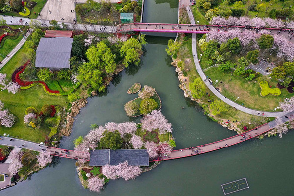 Cherry trees resemble pink clouds in Ningbo