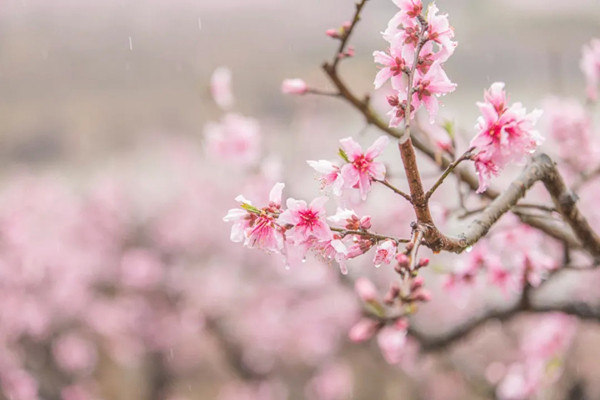 Enchanting view in Ningbo of peach blossoms in the rain