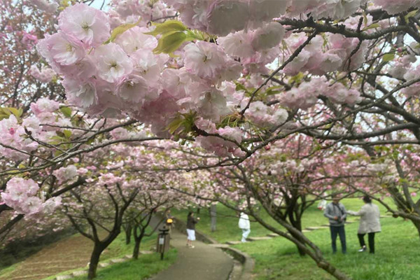 Cherry blossoms in Ningbo enter peak admiration period