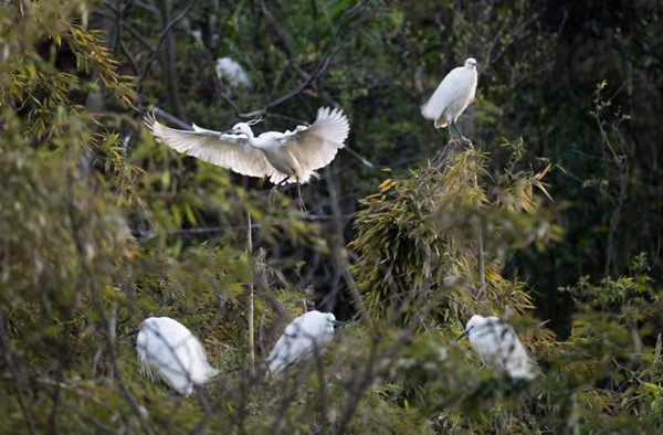 Thousands of migratory birds spotted in Ninghai Bay