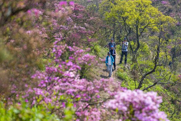 Azalea blossoms in Fenghua enthrall visitors