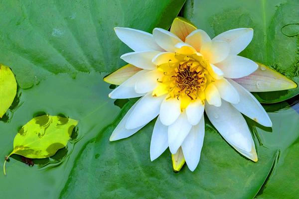 Water lilies enter flowering period in Ningbo