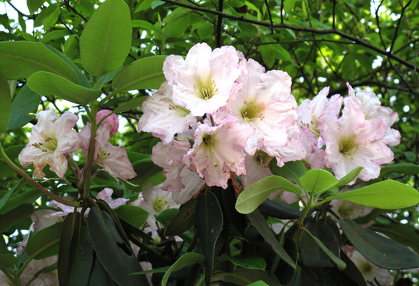 Ningbo blazes with azalea blossoms