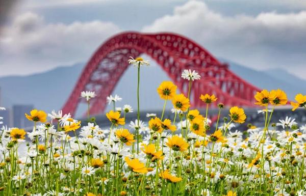 Daisy blossoms near Meishan Red Bridge captivate visitors