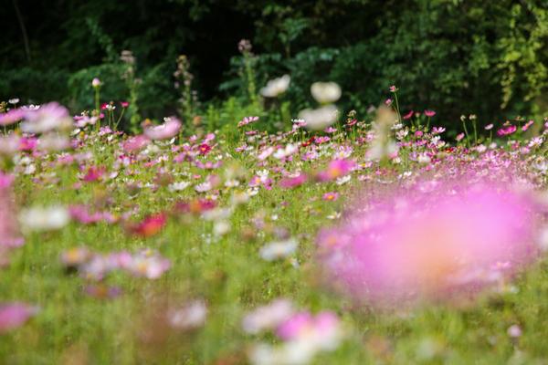 Galsang flowers in full bloom in Ningbo