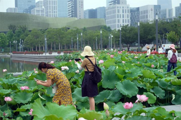 Lotus blossoms attract crowds in Ningbo