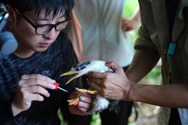 Rare birds banded in Xiangshan for protection
