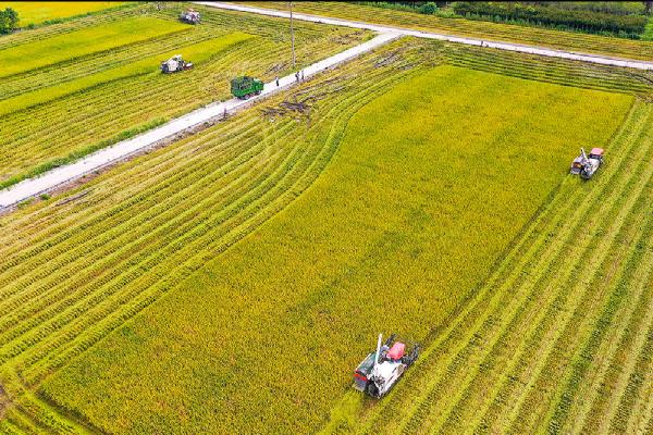 Early rice harvest season begins in Ningbo