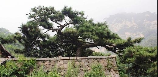 wudang pine.jpg