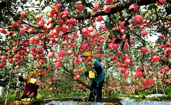 Yantai apples have been granted geographic indication trademwark status. by Wang Qian.jpg