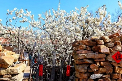 Rizhao countryside shows off flowery spring