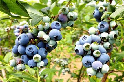 Blueberries increase farmer earnings in Rizhao