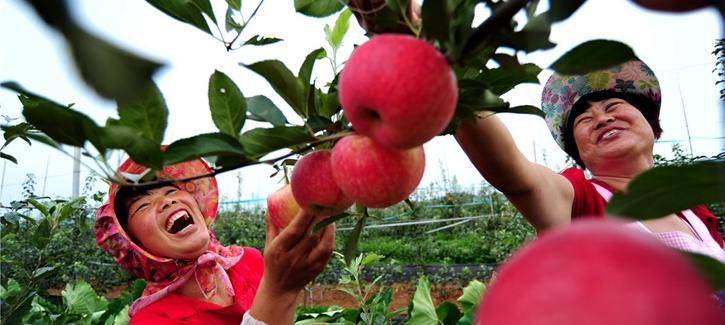 Online sale event promotes Qixia apples